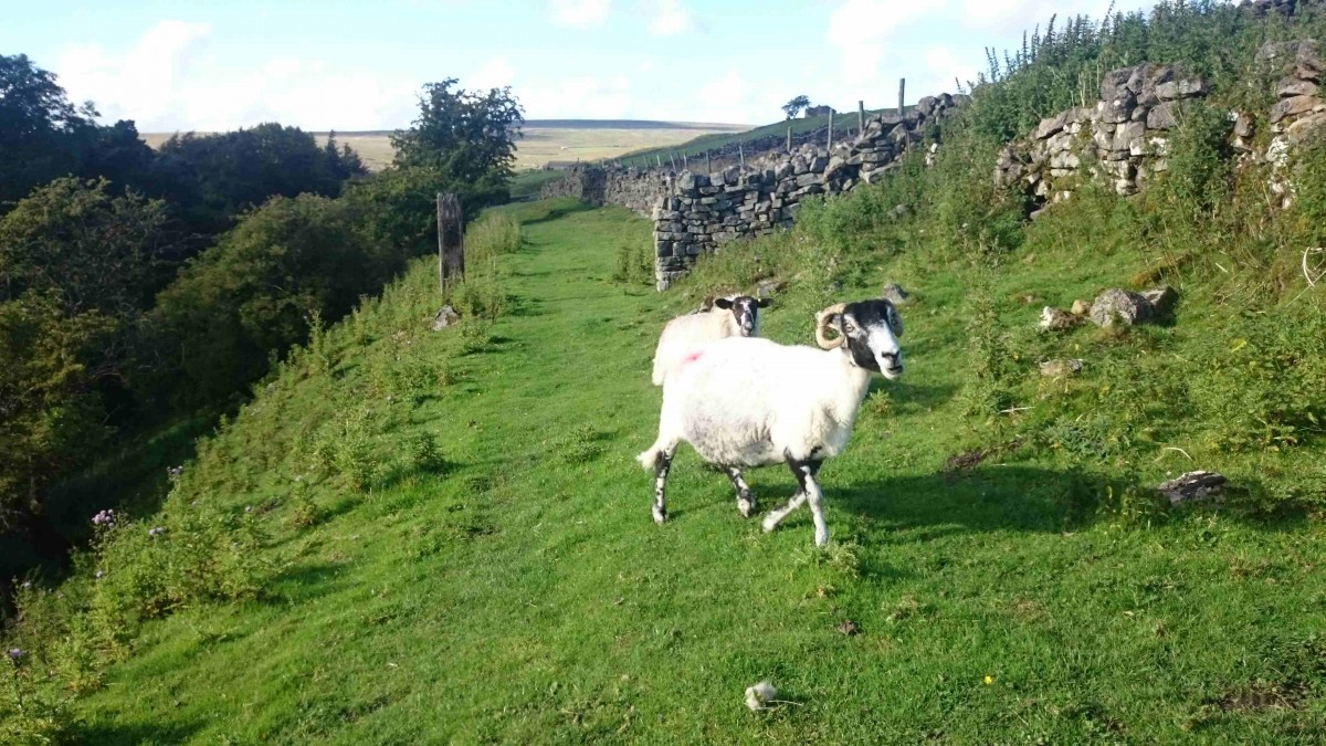 sheep yorskhire dales