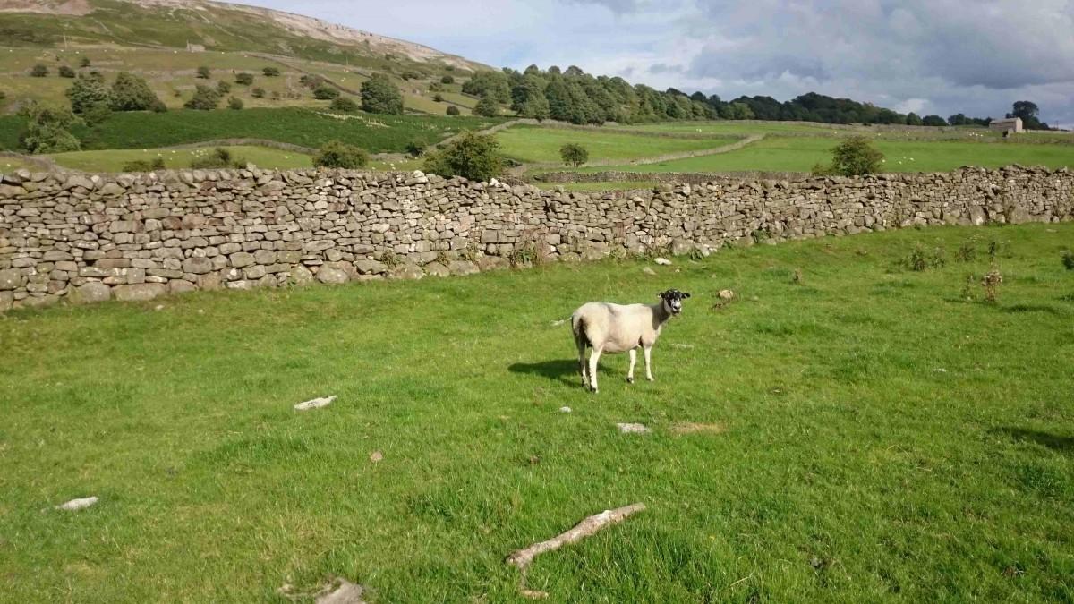 sheep yorkshire dales