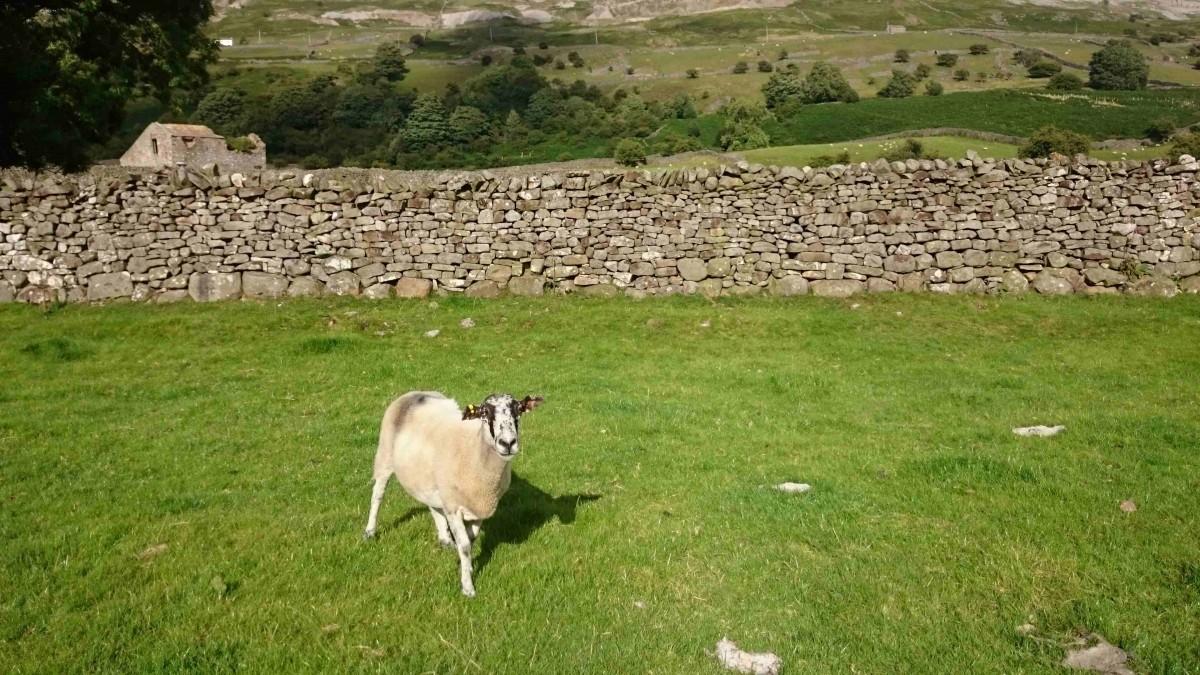 sheep reeth