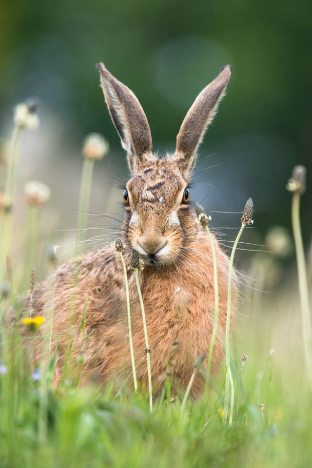 photo of a hare